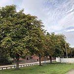 kastanjetræer i Aarhus